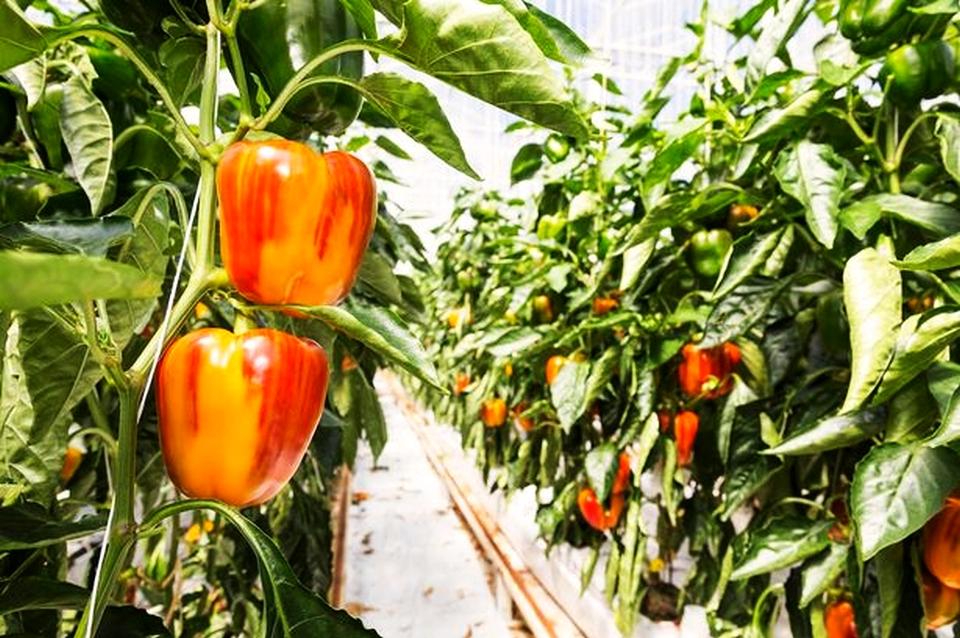 Asda World's First Striped Pepper