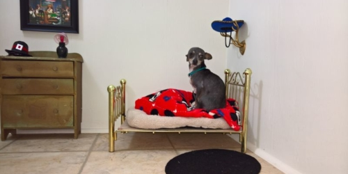 Tiny Chihuahua's Bedroom Under The Stairs